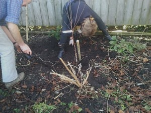 The planting of the Morello Cherry